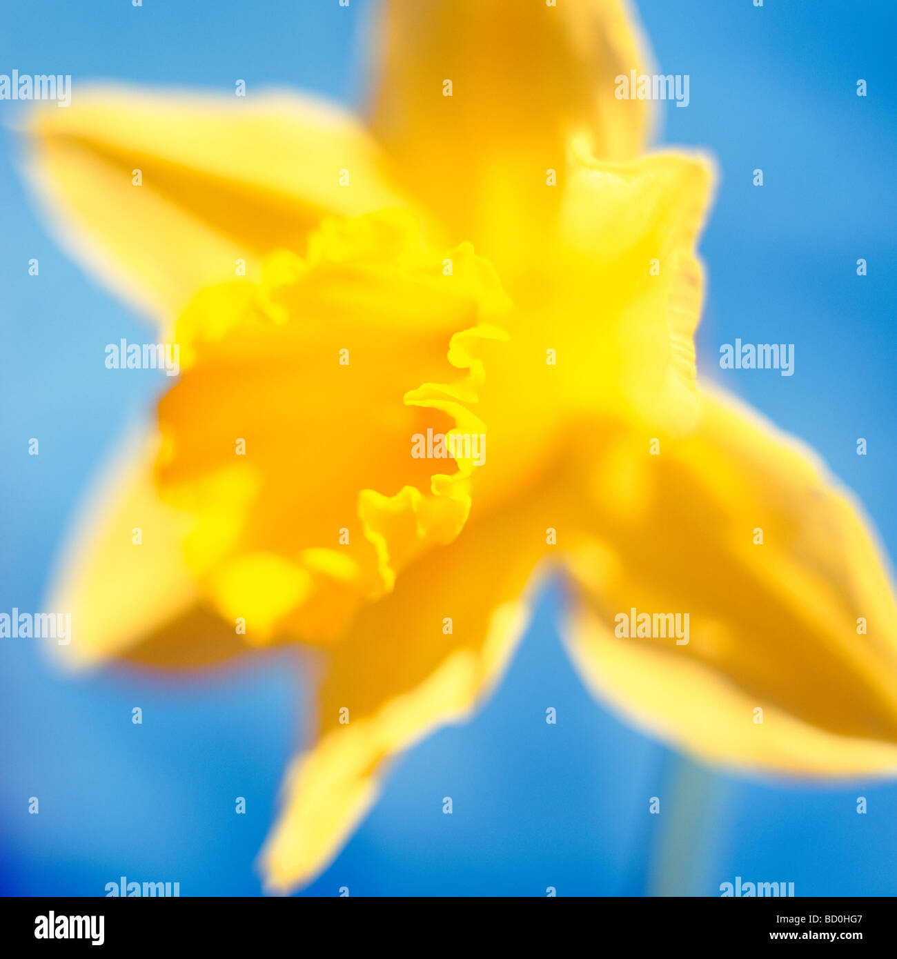 beautiful spring daffodil the epitome of spring fine art photography Jane Ann Butler Photography JABP290 - Stock Image