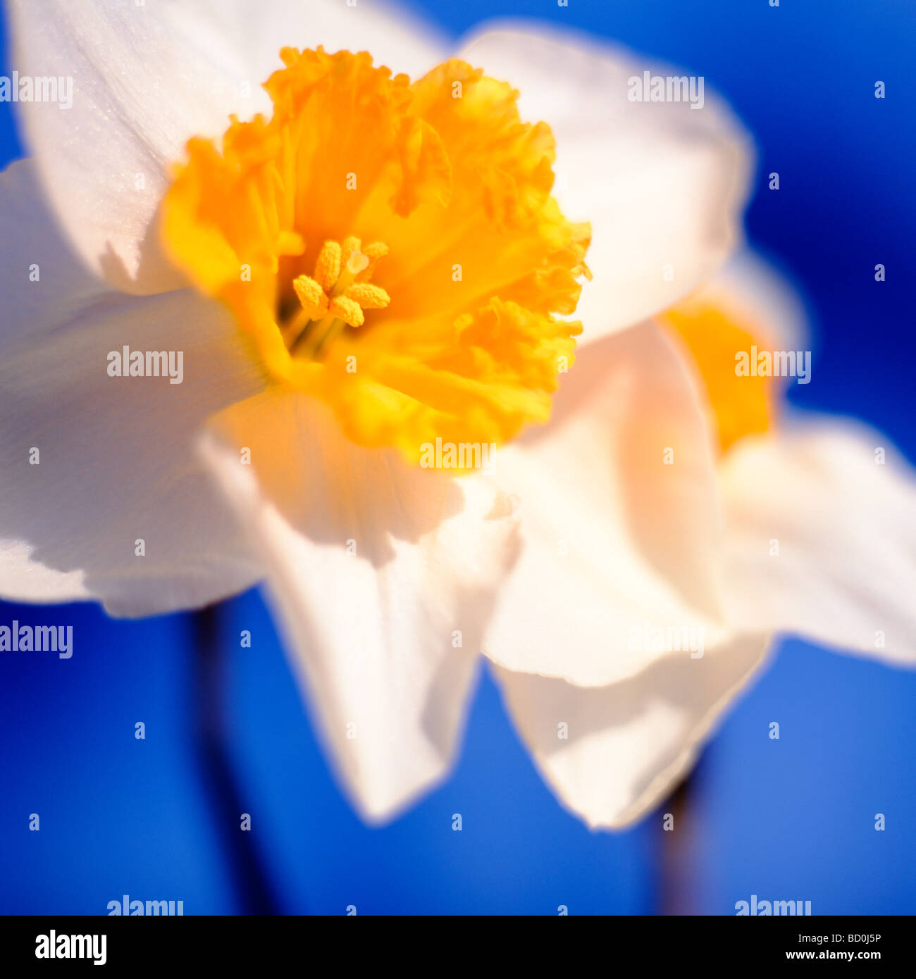 beautiful spring daffodils the epitome of spring fine art photography Jane Ann Butler Photography JABP289 - Stock Image