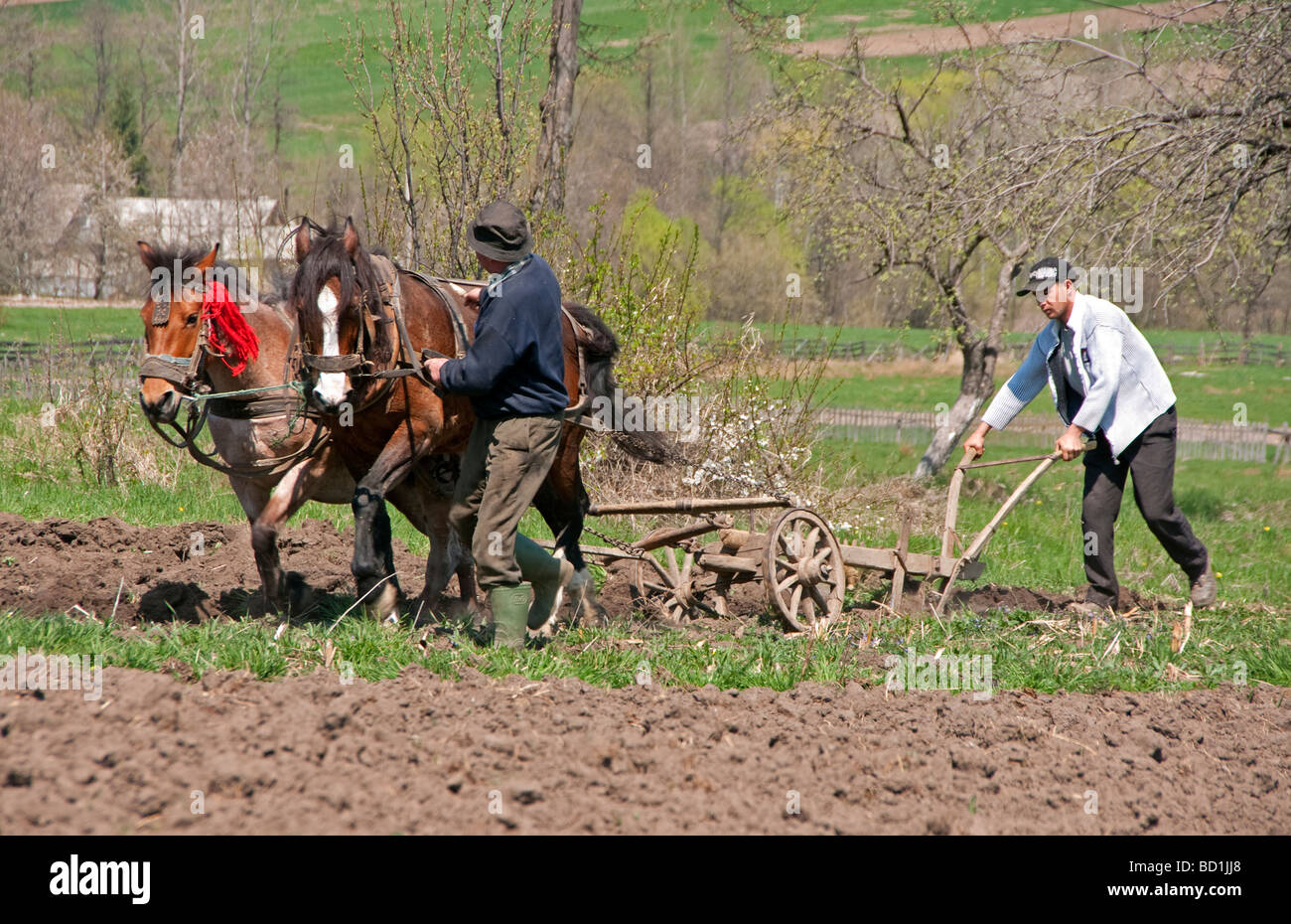 Romanian peasant father and son doing spring plowing in Bucovina with horse drawn plow - Stock Image