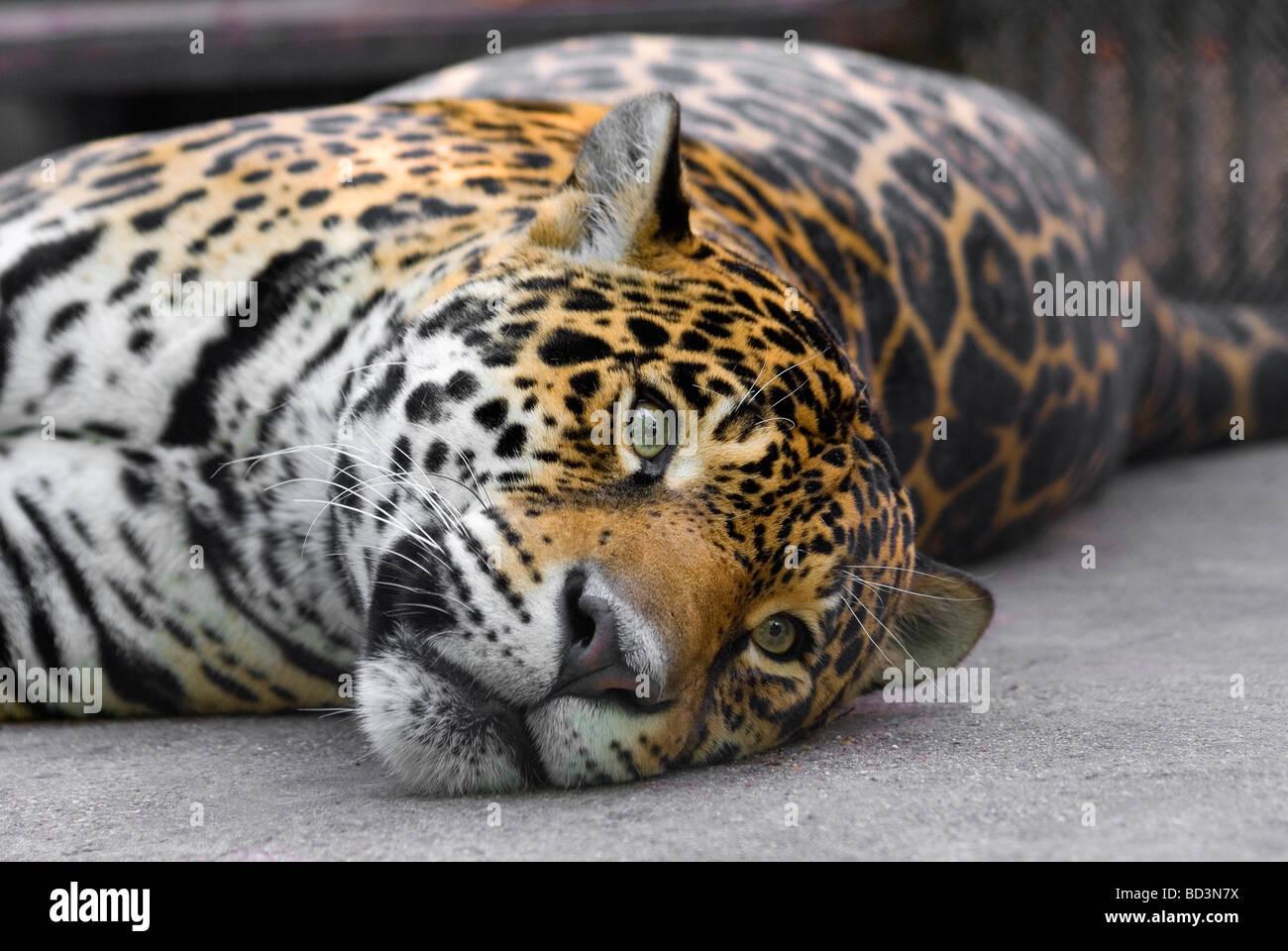 Lolling leopard - Stock Image