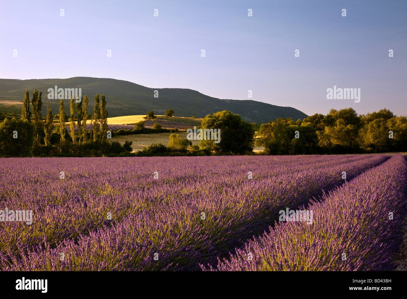Lavender field with hills and farm land beyond near Sault, Provence France - Stock Image