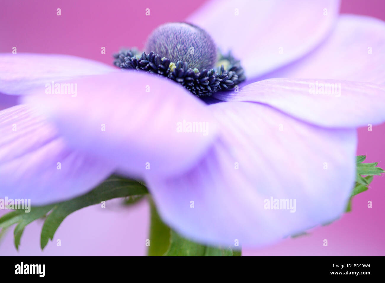 soft and romantic purple anemone flower head on lilac fine art photography Jane Ann Butler Photography JABP532 - Stock Image