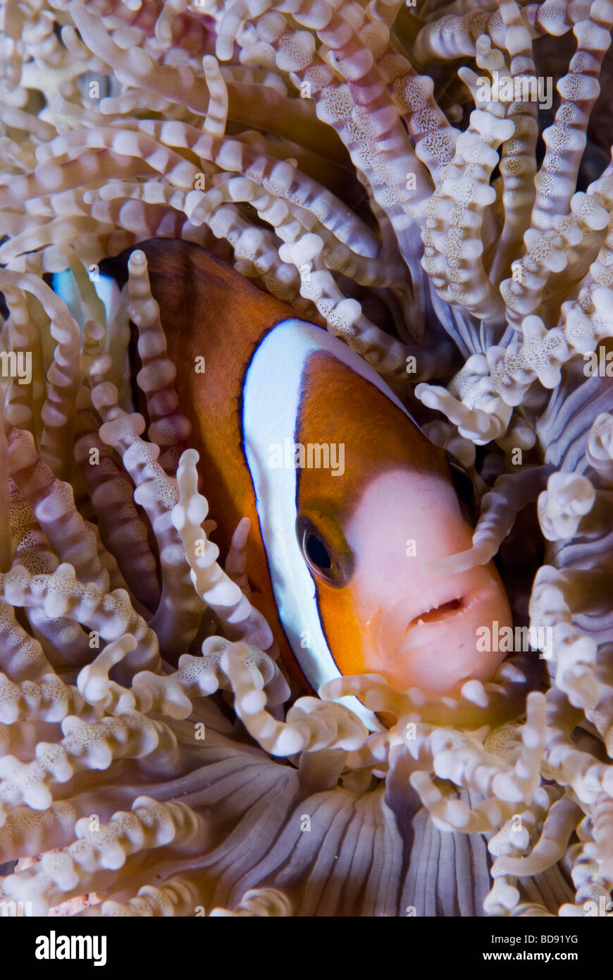 Anemone fish hiding in the sea anemone, Cabilao, Philippines - Stock Image