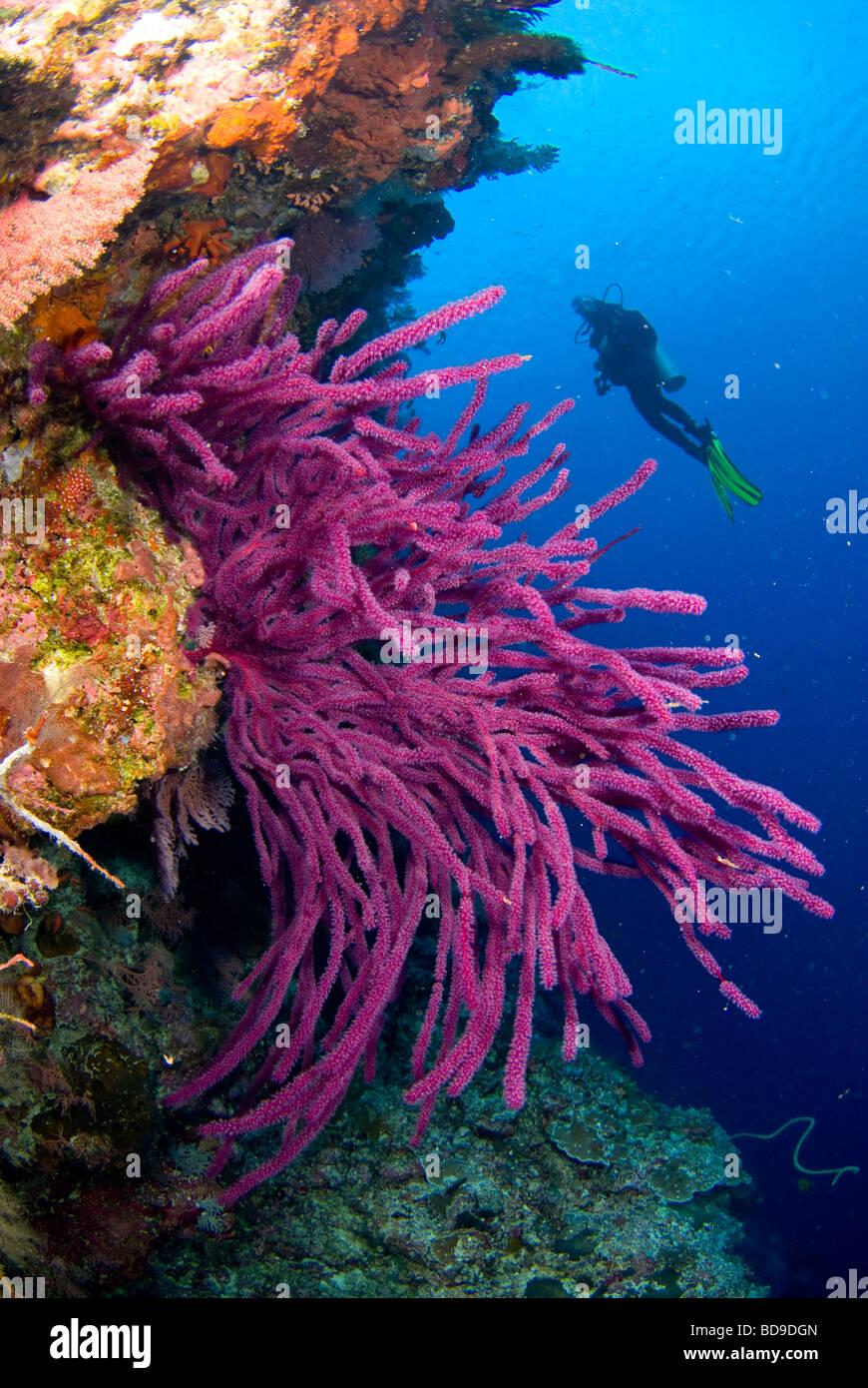 Scubadiver exploring philippine coral reef. - Stock Image