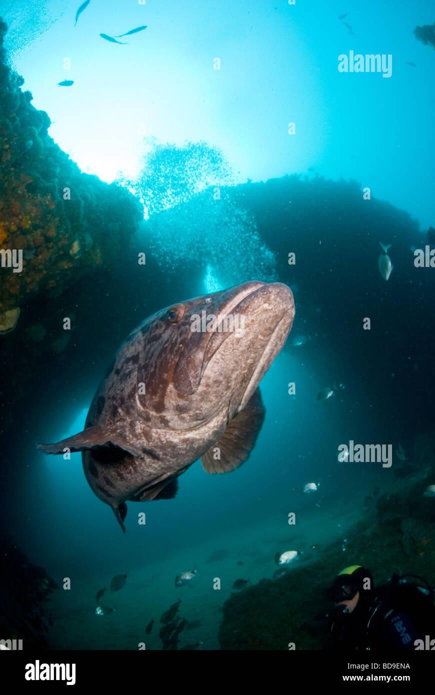 Potato cod (Epinephelus tukula), Aliwal Shoal, South Africa - Stock Image