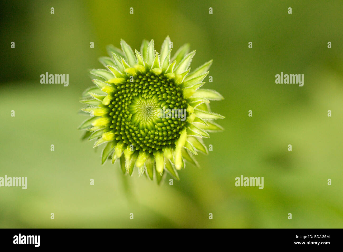 purple-coneflower-bud-BDAG6M.jpg