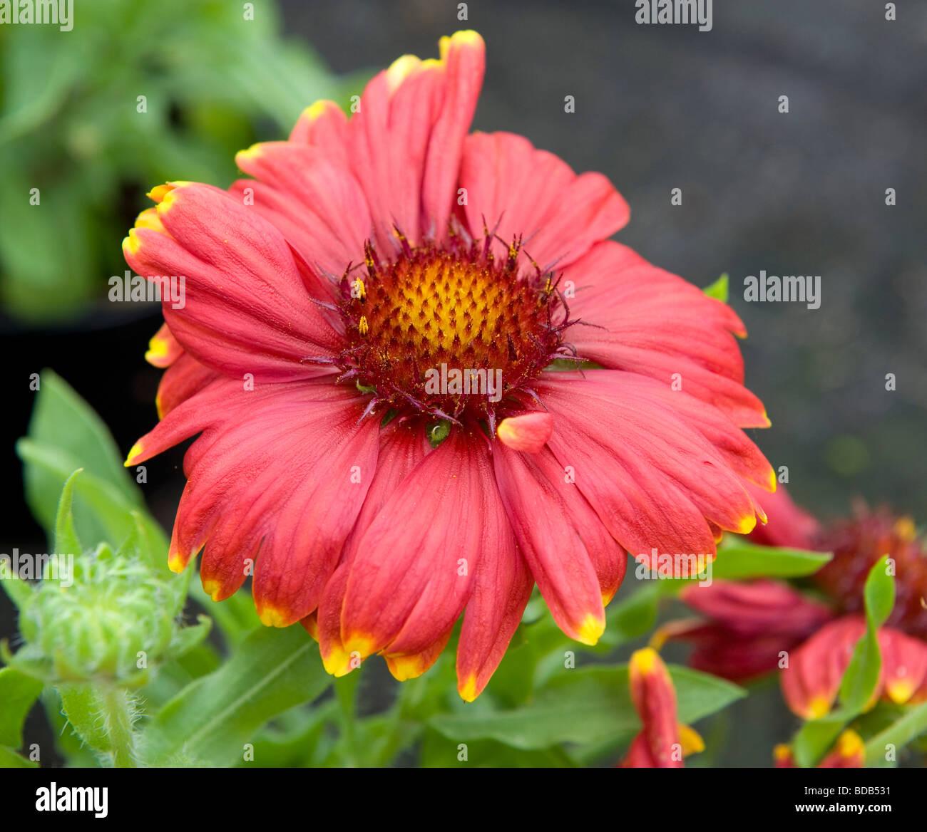 Gaillardia Sunburst Red With Yellow Tip A Bright Red Flower Daisy