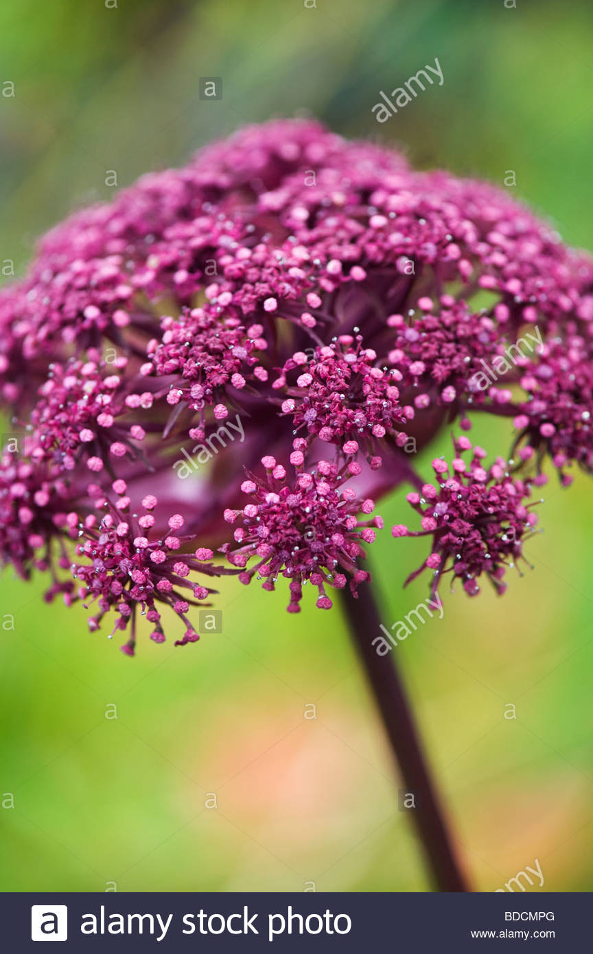 Angelica gigas. Purple angelica - Stock Image