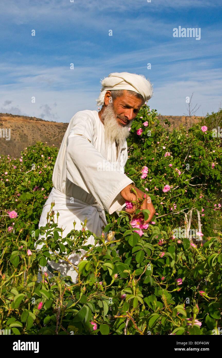 Villager picking roses to make Rose Water in Al-Jabal Al-akdar region Sultanate of Oman - Stock Image
