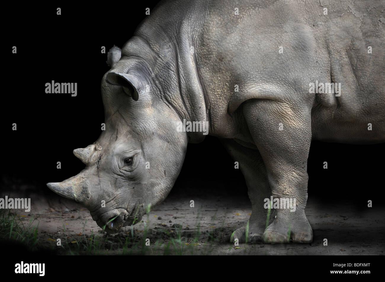 Rhinoceros bending to eat over dark background - Stock Image