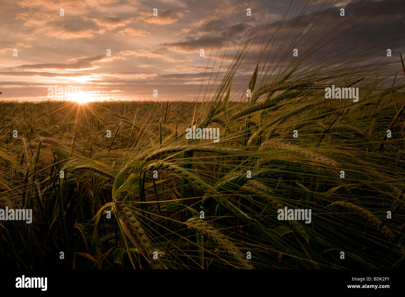 Barley corn growing in the South Downs, England - Stock Image