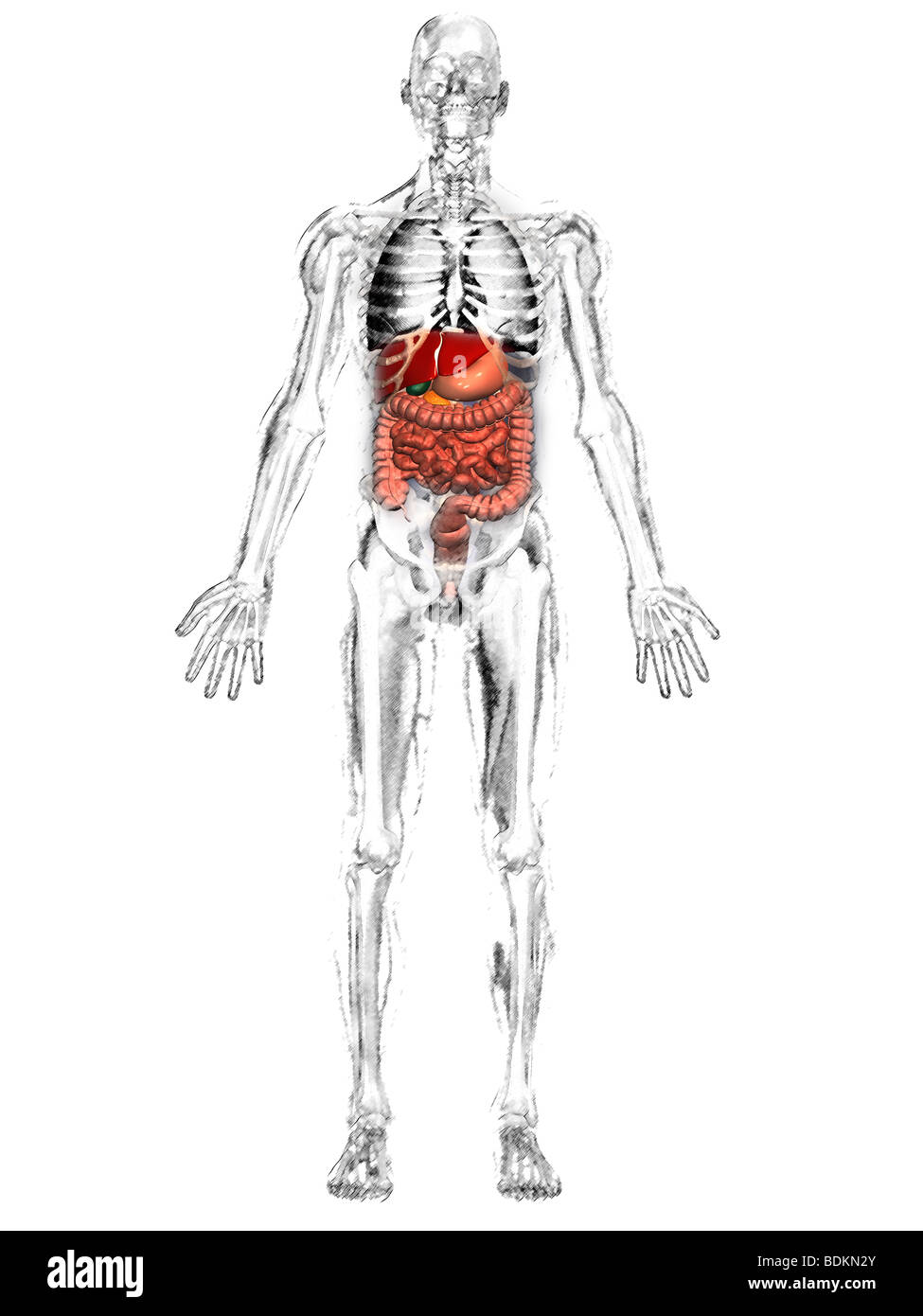 human anatomical illustration of an adult man, showing the skeleton ...