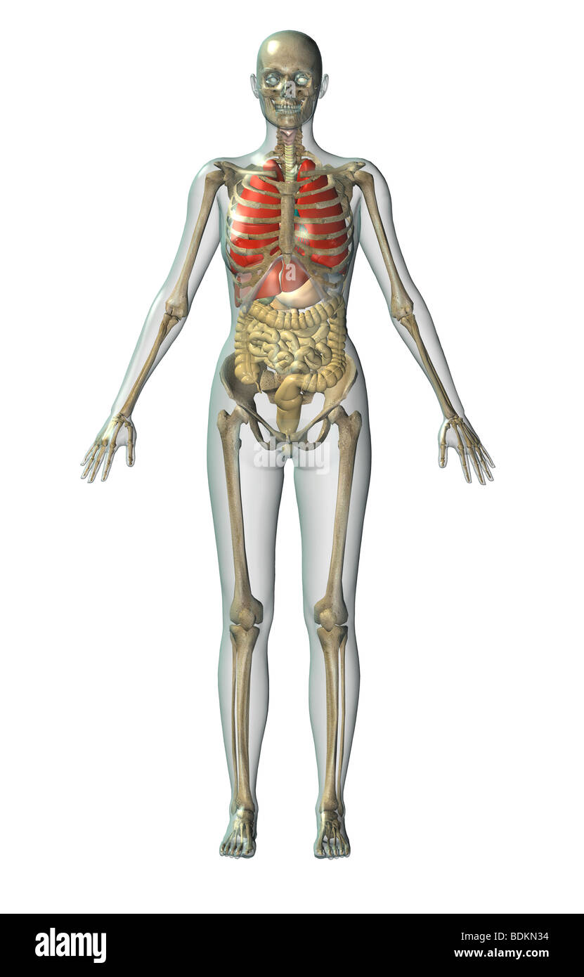 Human Anatomical Illustration Of An Adult Man Showing The Skeleton