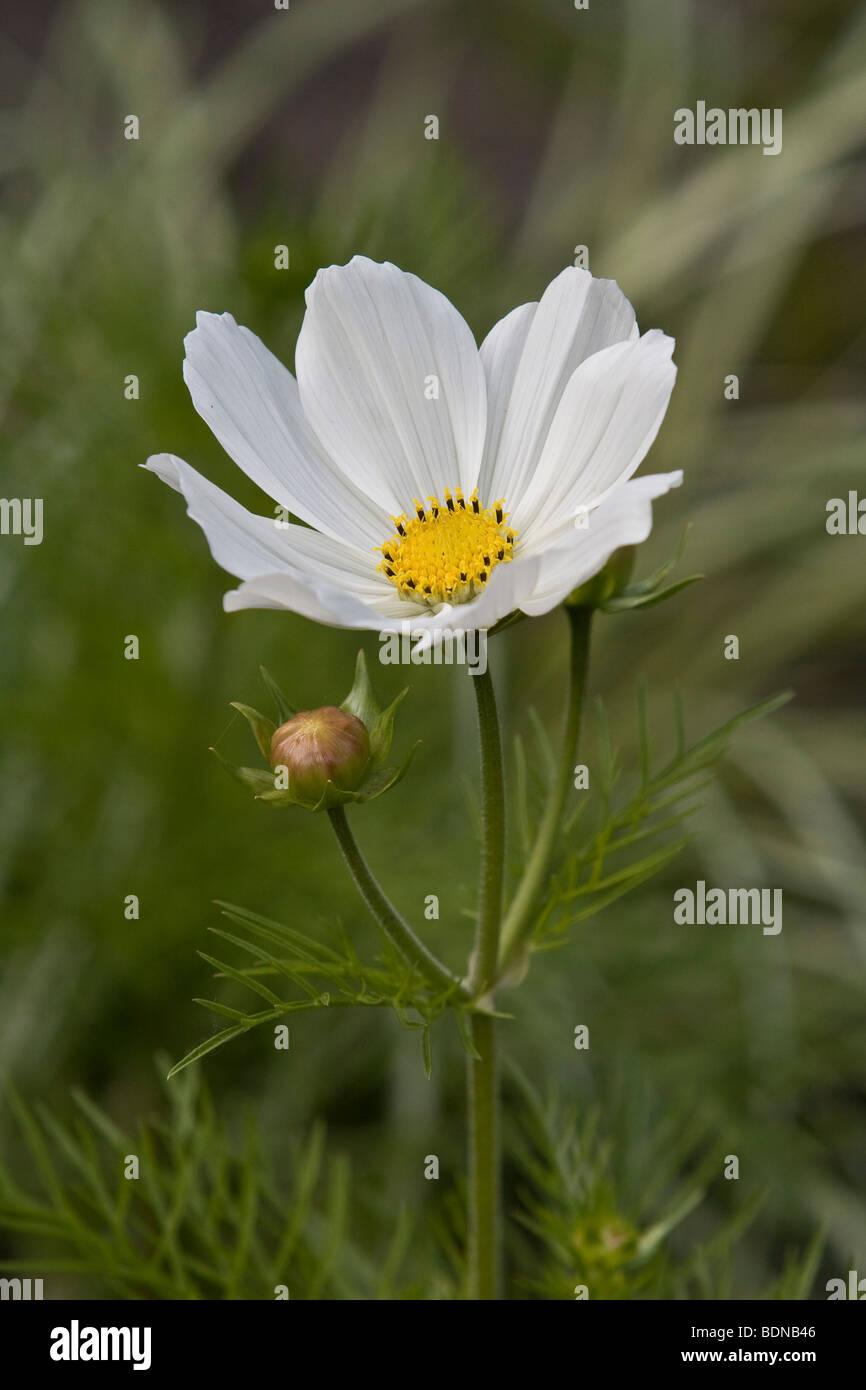 Garden Cosmos Or Mexican Aster Cosmos Bipinnatus White Flower