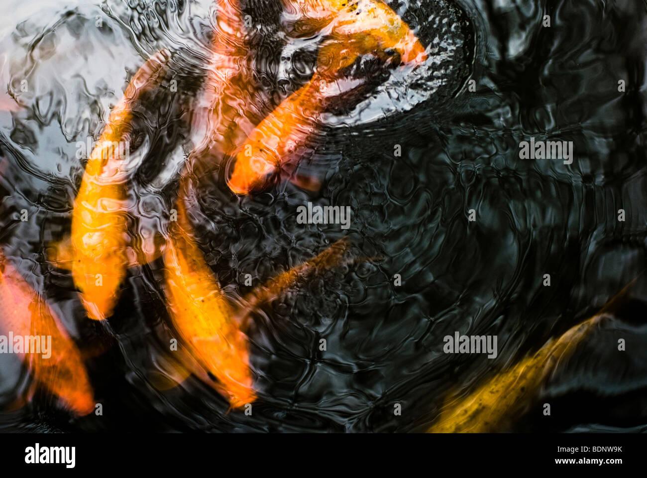 Golden Koi carp swimming in a pond - Stock Image