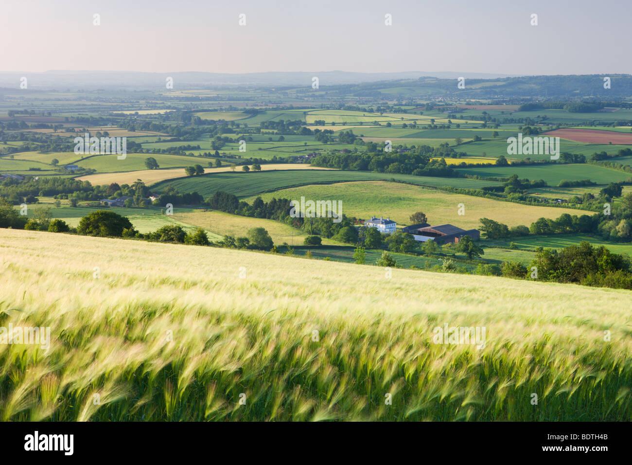Barley crop field and rolling Devon landscape near Crediton, Devon, England. Summer (June) 2009 - Stock Image