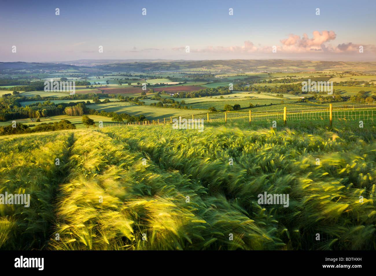 Golden ripened barley growing in a hilltop field in rural Devon, England. Summer (June) 2009 - Stock Image