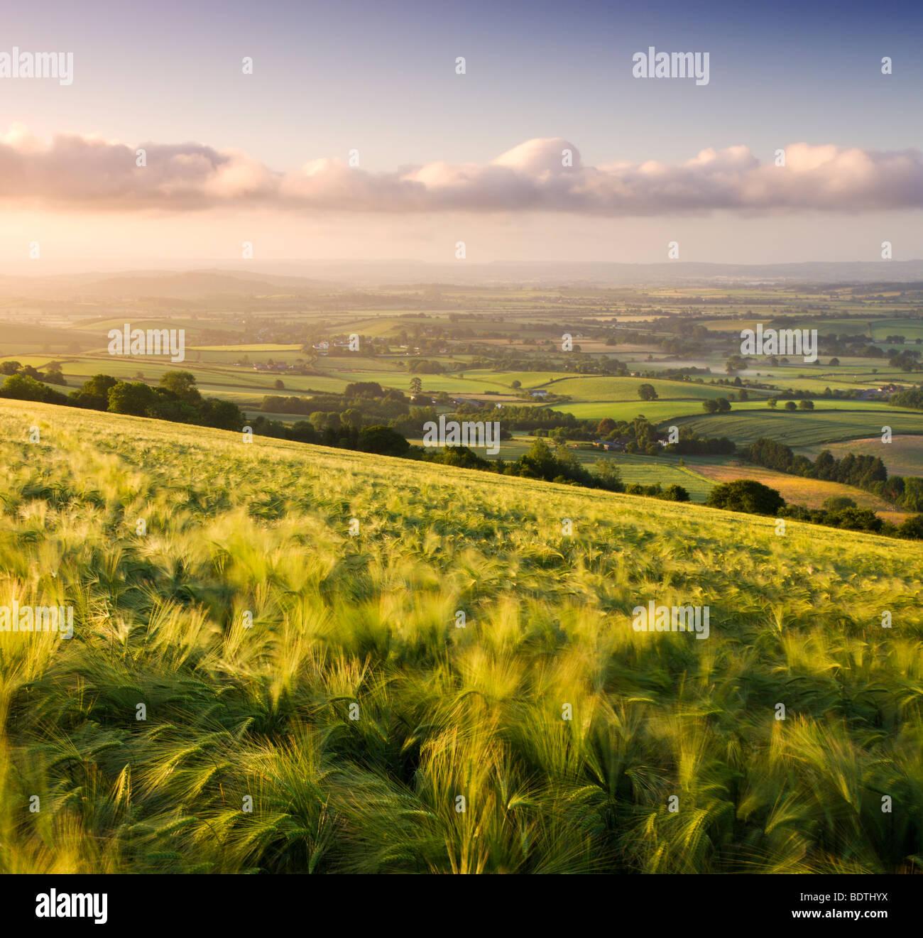 Golden ripened barley growing in a field in rural Devon, England. Summer (June) 2009 - Stock Image