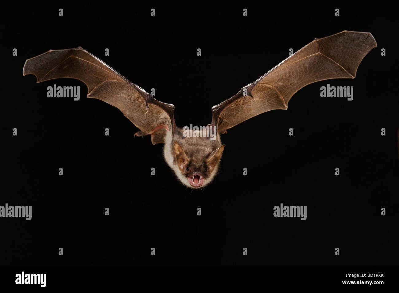 Myotis myotis, Greater Mouse-eared Bat Stock Photo
