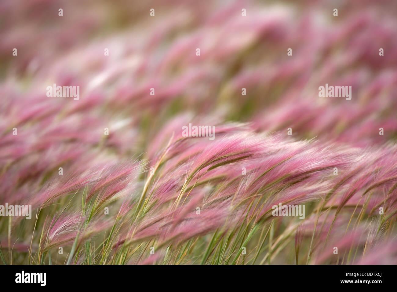 Maehnen-Gerste / Foxtail Barley / Hordeum jubatum - Stock Image