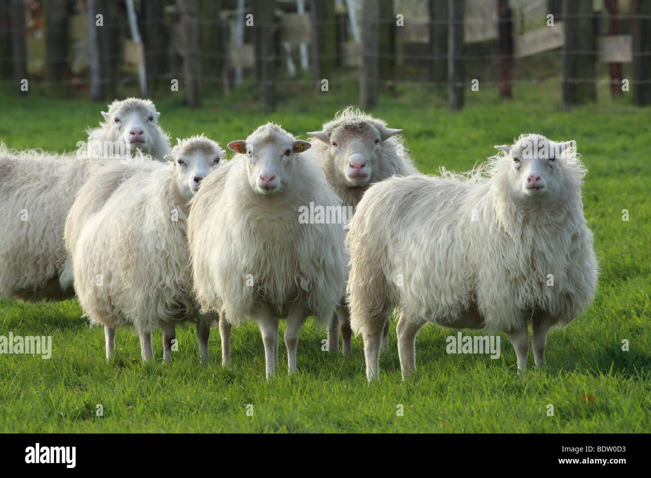 Hausschaaf, Sheep - Stock Image