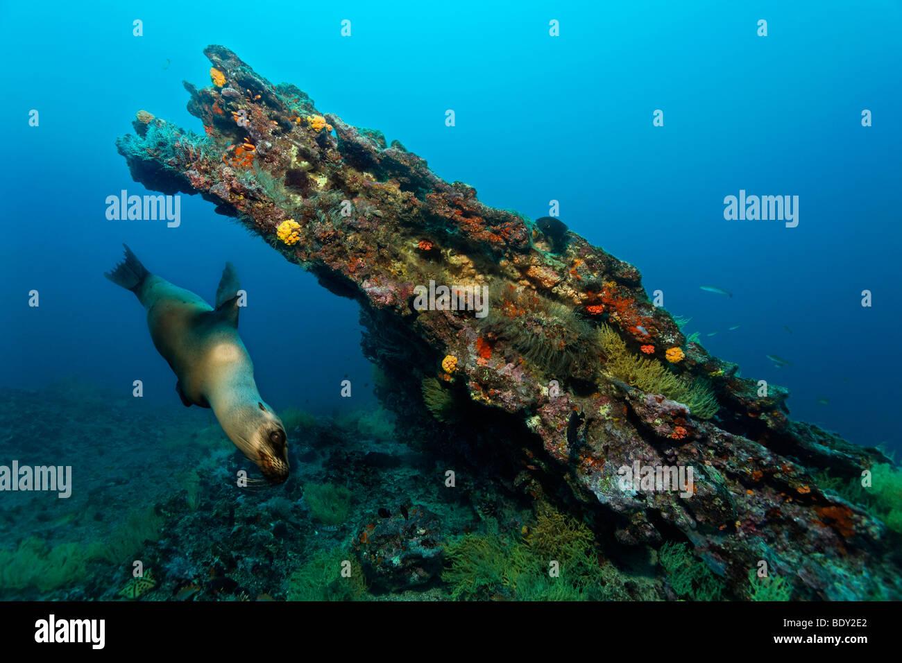 Diagonal rock reef with female Galapagos Fur Seal (Arctocephalus galapagoensis), Cousin Rock, UNESCO World Heritage - Stock Image