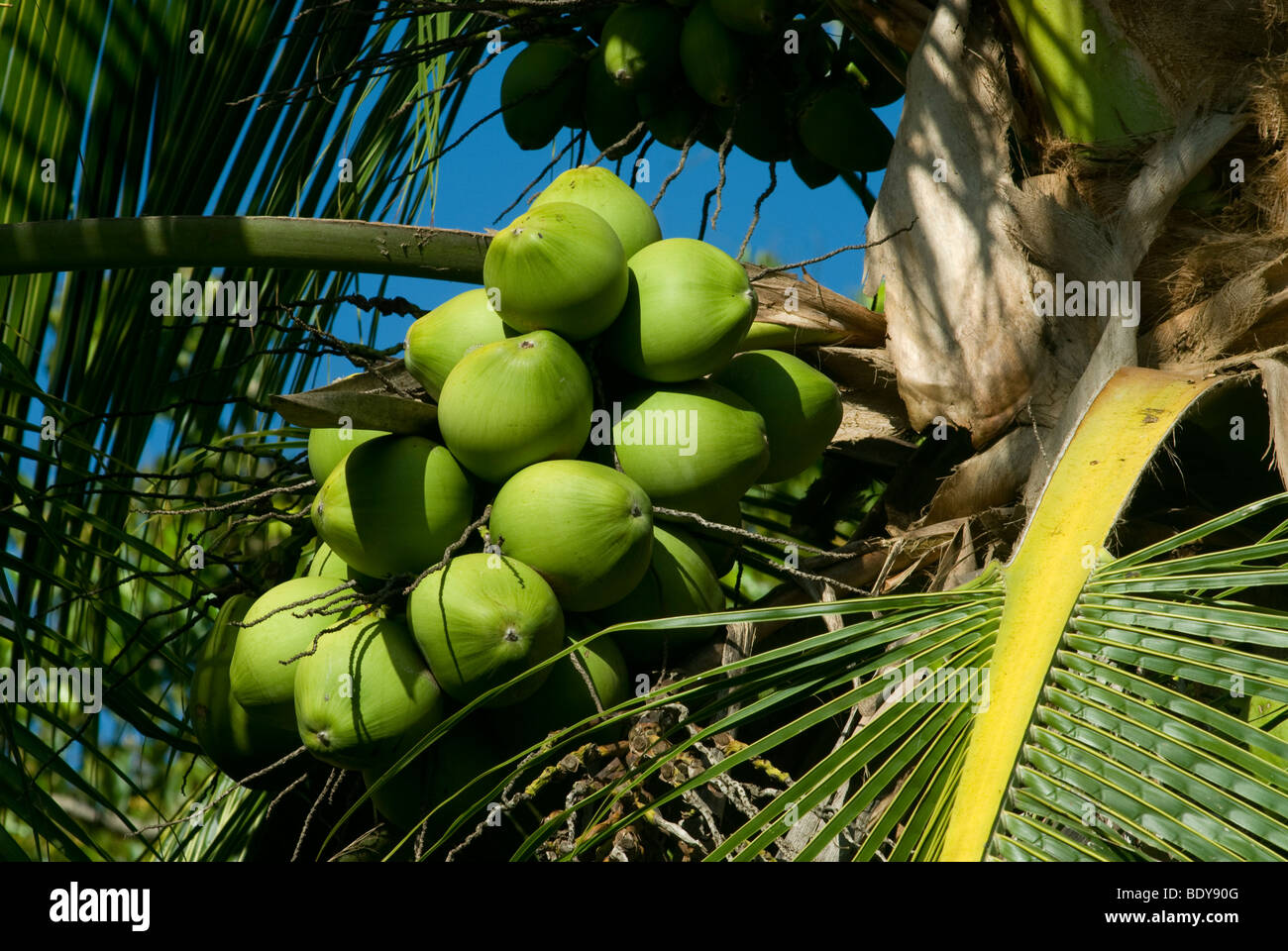 Coconut Palm (Cocos nucifera) with coconuts. - Stock Image
