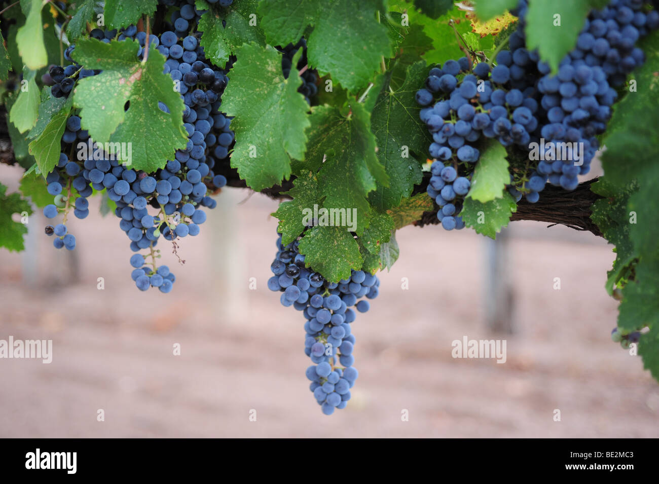 red-wine-grapes-on-the-vine-casa-rondena-winery-albuquerque-new-mexico-BE2MC3.jpg