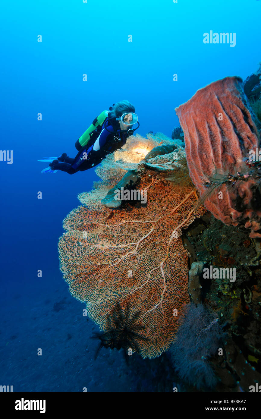 Diver looking at at reef formation with sea fan (Anella mollis) and sponge, coral, Kuda, Bali, Indonesia, Pacific - Stock Image
