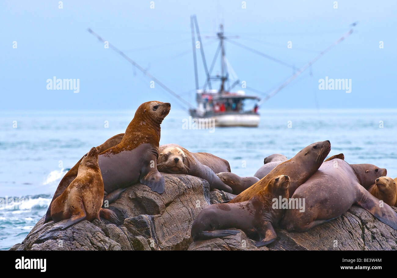 steller-sea-lions-congregate-on-the-rocks-in-the-view-of-a-fishing-BE3W4M.jpg