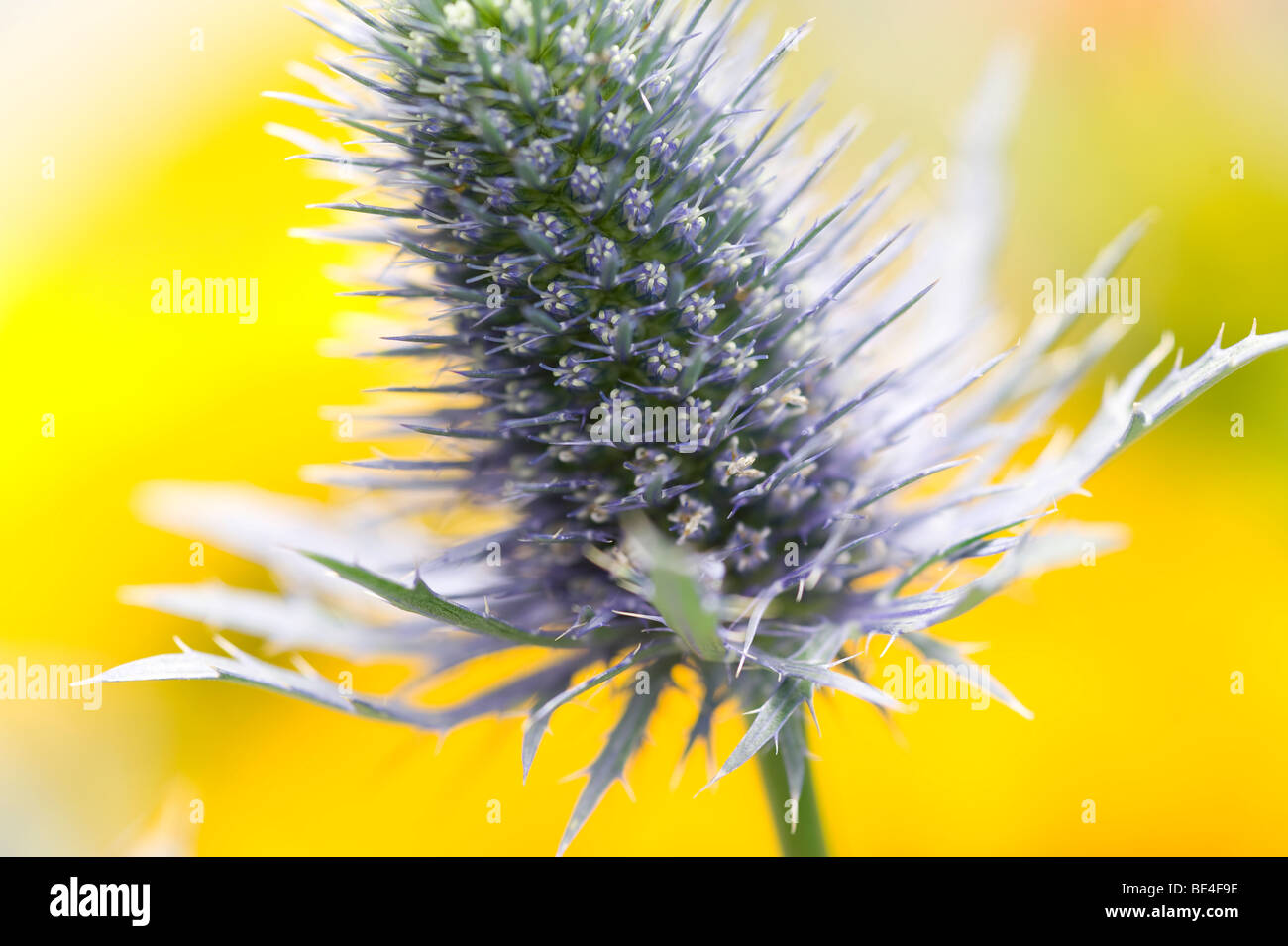 close up of sea holly thistle type plant - Stock Image