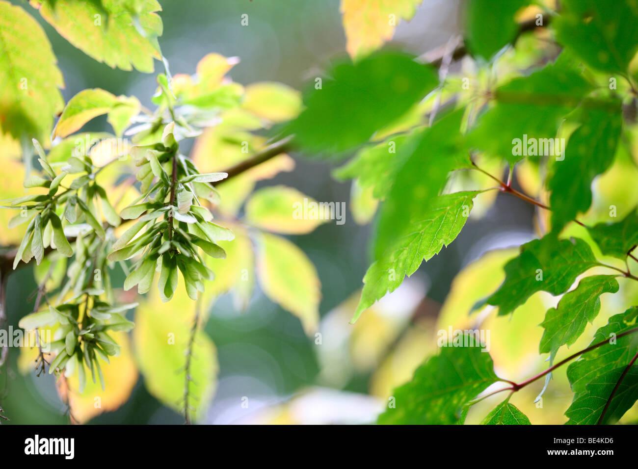Vine Leaved Maple Acer Cissifolium Summer to Autumn Season Change - fine art photography Jane-Ann Butler Photography - Stock Image
