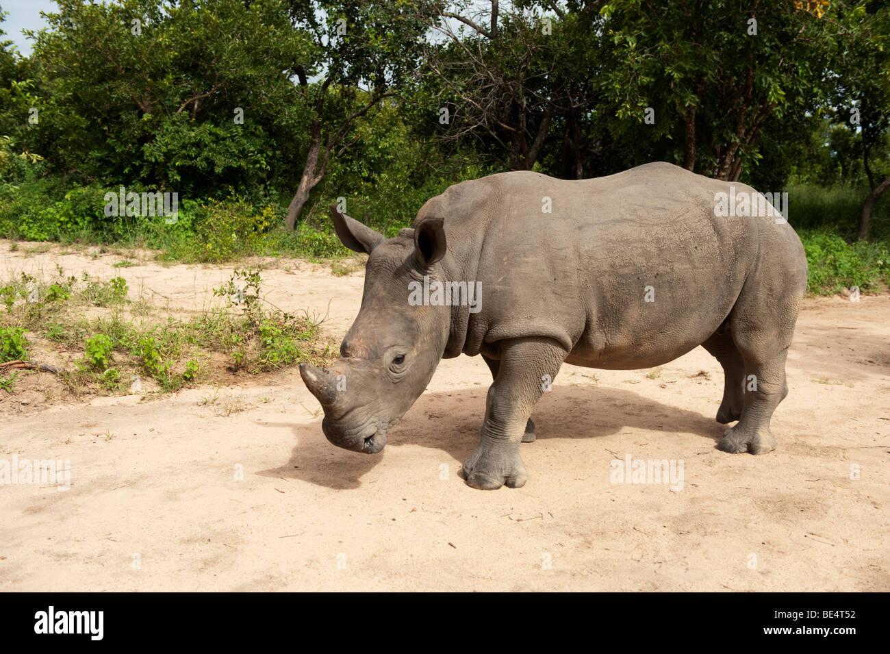 White rhinoceros (Ceratotherium simum), Hoedspruit Endangered Species Centre, Kapama, South Africa - Stock Image