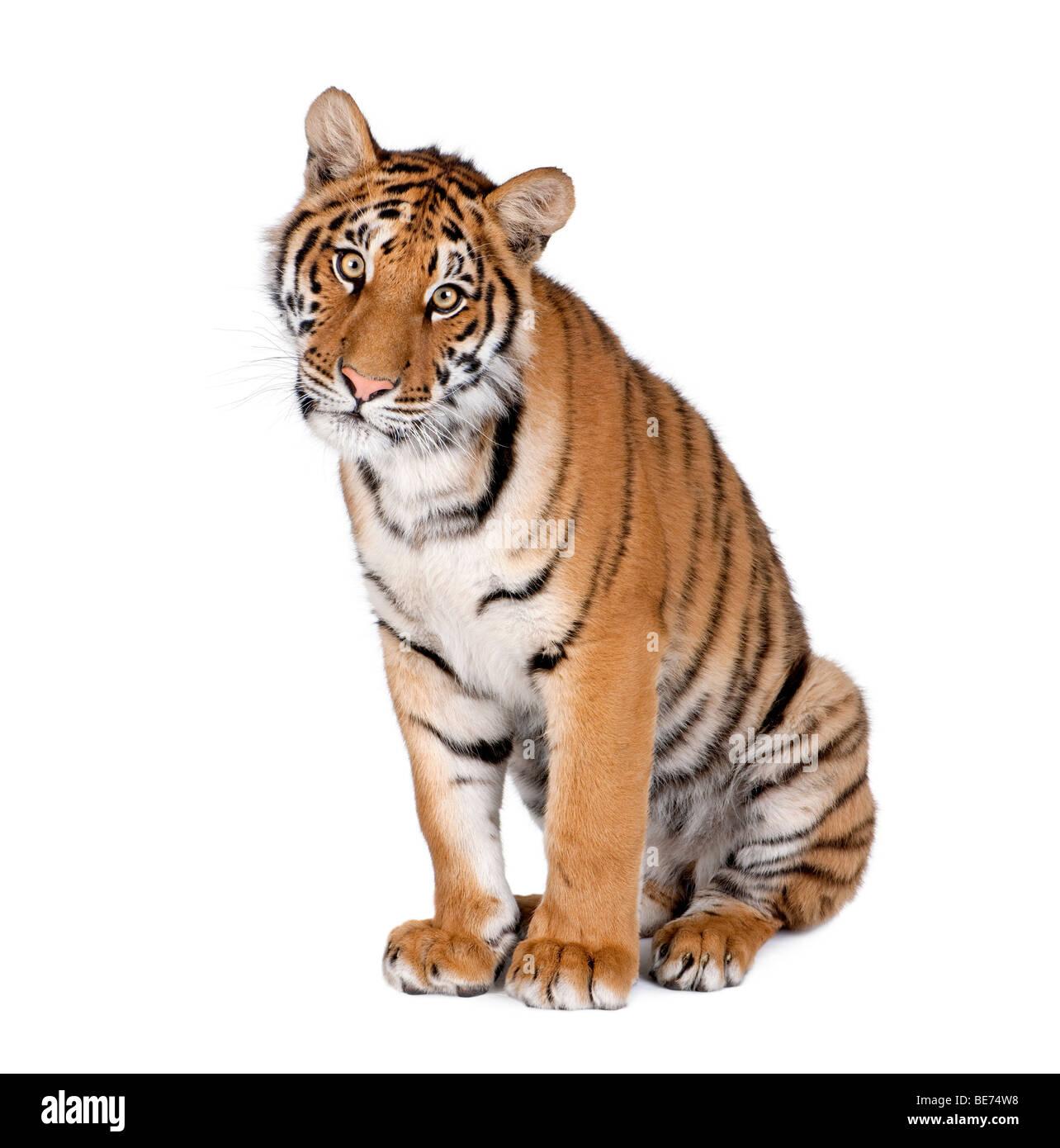 Portrait of Bengal Tiger, Panthera tigris tigris, 1 year old, sitting in front of white background, studio shot - Stock Image