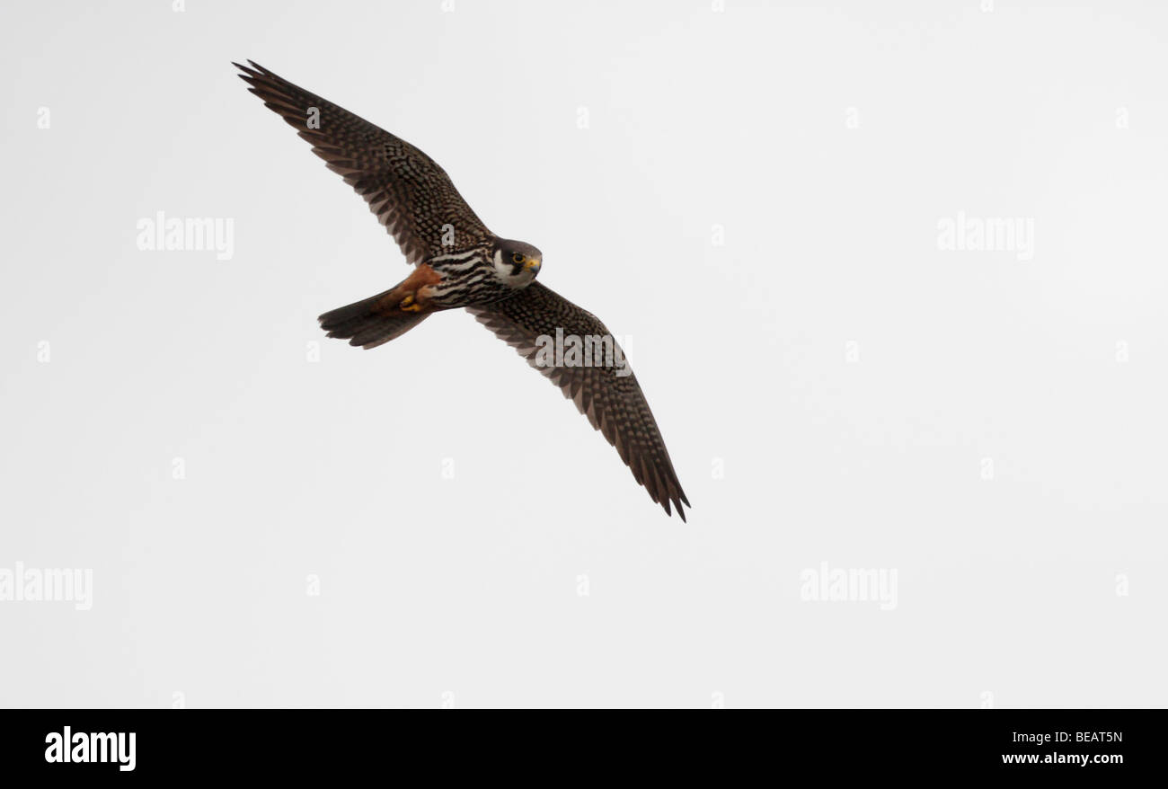 Hobby, Falco subbuteo, flight, Staffordshire, September 2009 - Stock Image