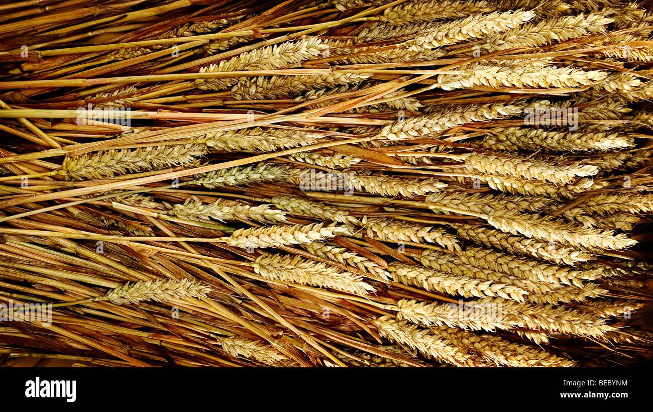 wheat kernels - Stock Image