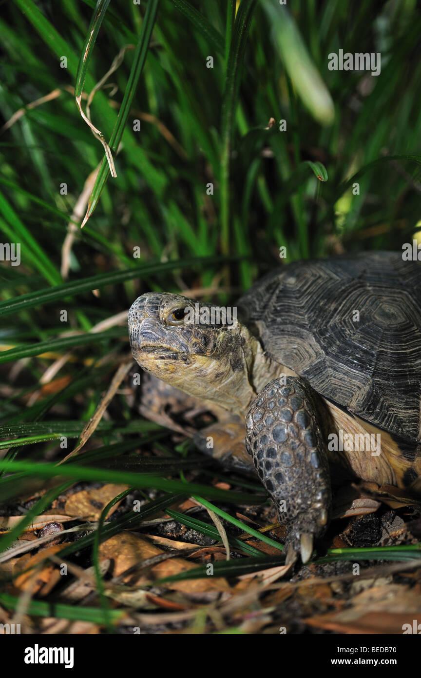 Gopher tortoise, Gopherus polyphemus, Florida, captive - Stock Image