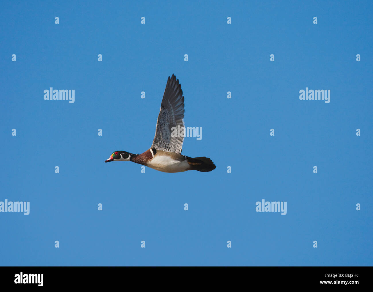 Wood Duck (Aix sponsa), male in flight, Sinton, Corpus Christi, Coastal Bend, Texas, USA - Stock Image