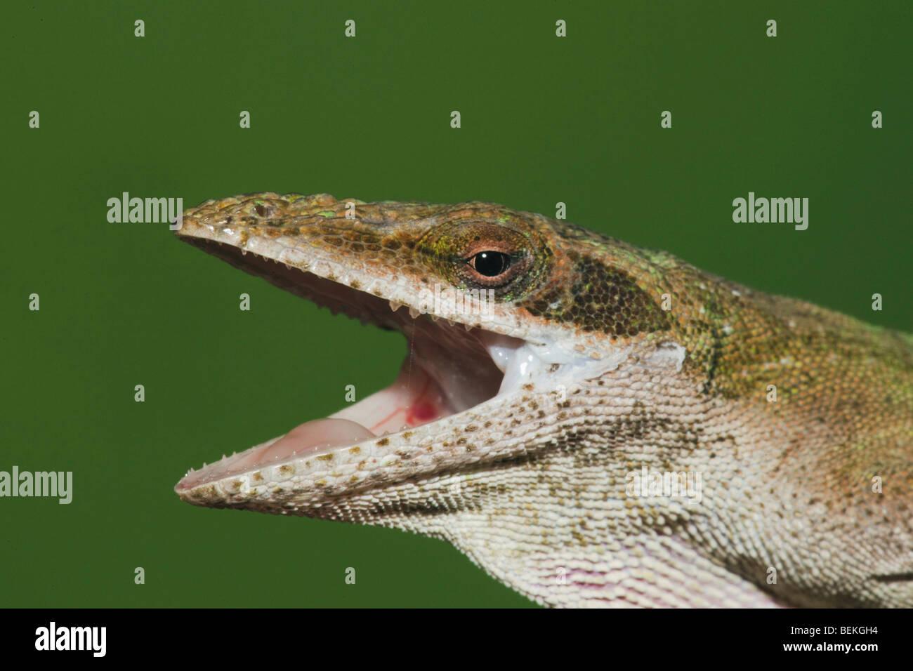 Green Anole (Anolis carolinensis), head, Sinton, Corpus Christi, Coastal Bend, Texas, USA - Stock Image