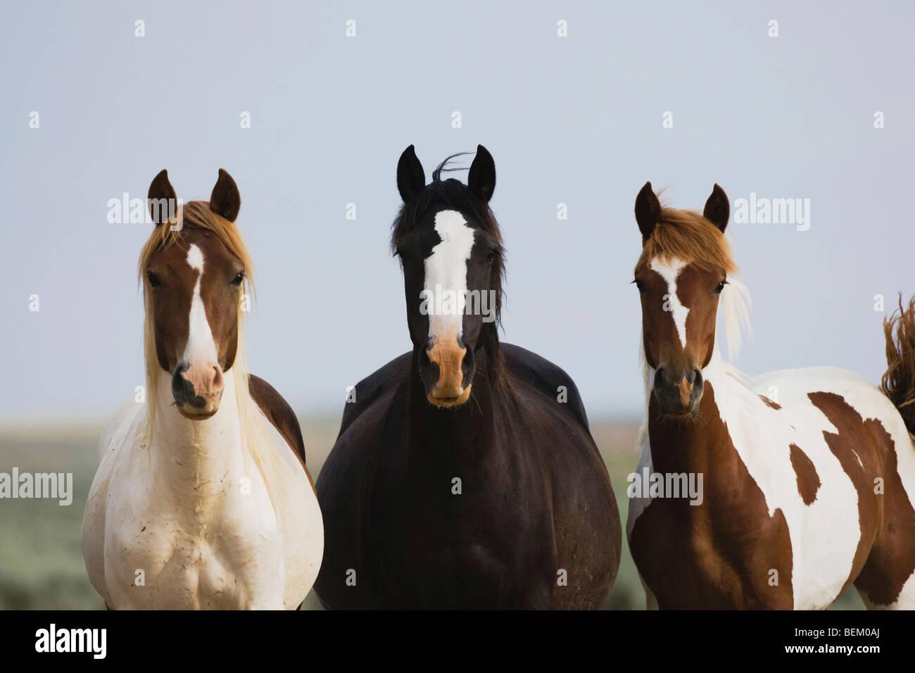 Mustang Horse (Equus caballus), herd, Pryor Mountain Wild Horse Range, Montana, USA - Stock Image