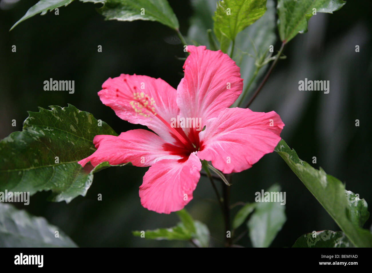 Chinese hibiscus china rose or shoe flower hibiscus rosa sinensis chinese hibiscus china rose or shoe flower hibiscus rosa sinensis cooperi malvaceae east asia izmirmasajfo