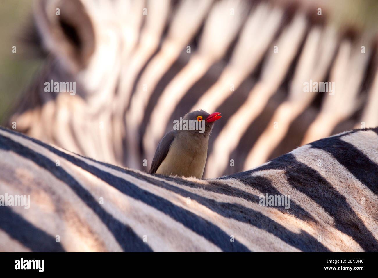 Plains Zebra (Equus Quagga) with Red-billed Oxpecker (Buphagus Erythrorhynchus). - Stock Image