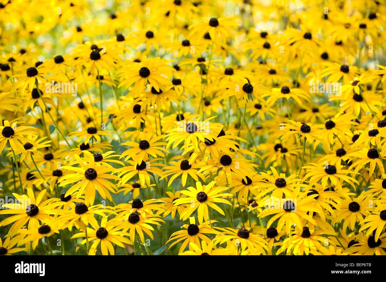 black eyed susan flowers in english cottage garden - Stock Image