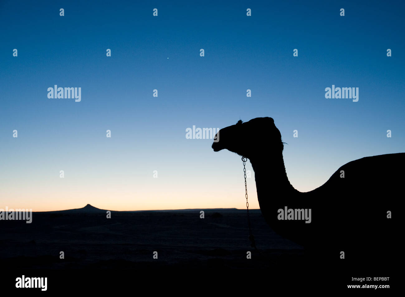 Silhouette of a camel in the desert in Egypt - Stock Image