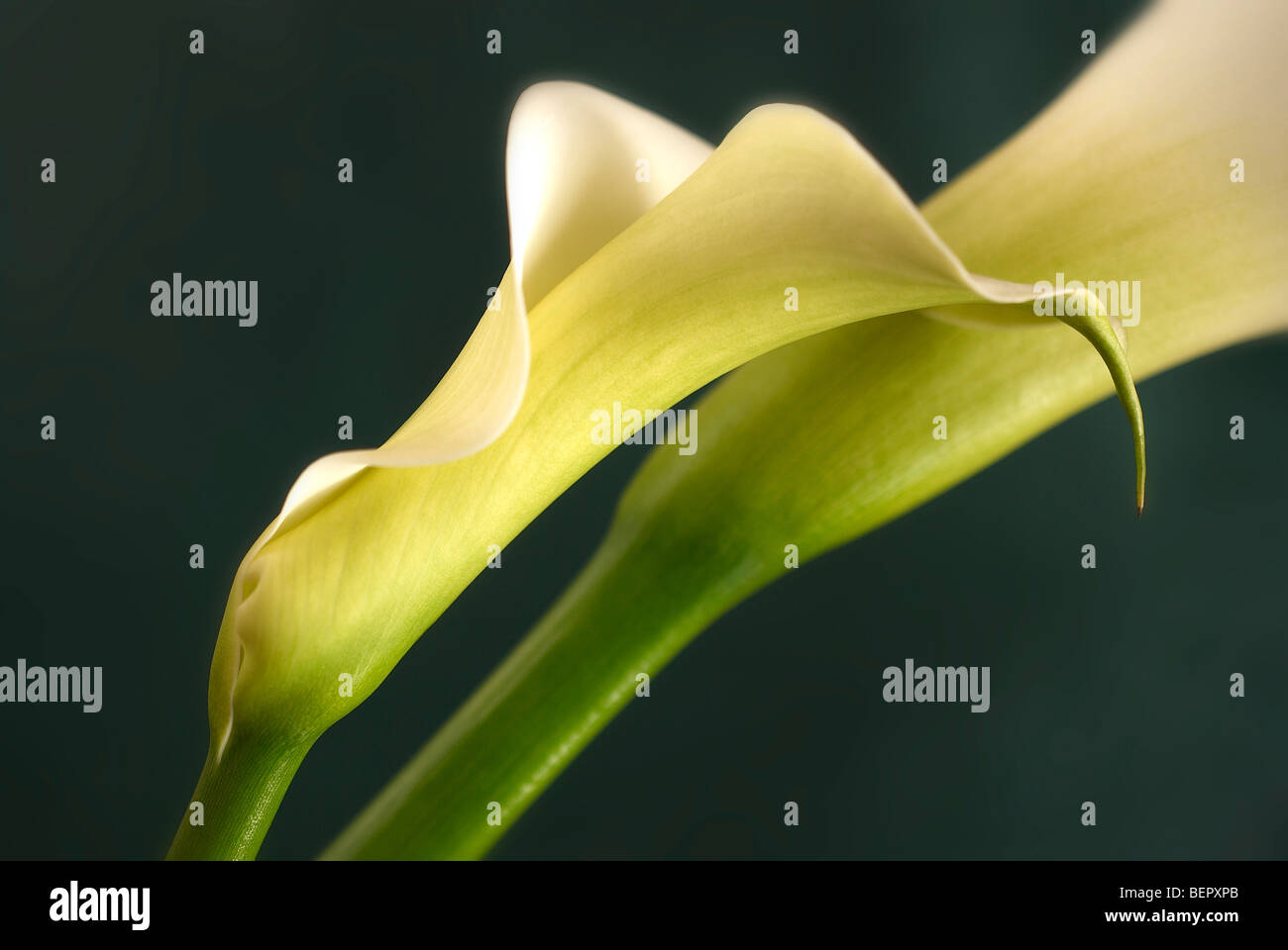 Lily, lilium, arum lily, vertical, profile, white lily, white, two lilies, 2 lily's, wedding, landscape format, - Stock Image
