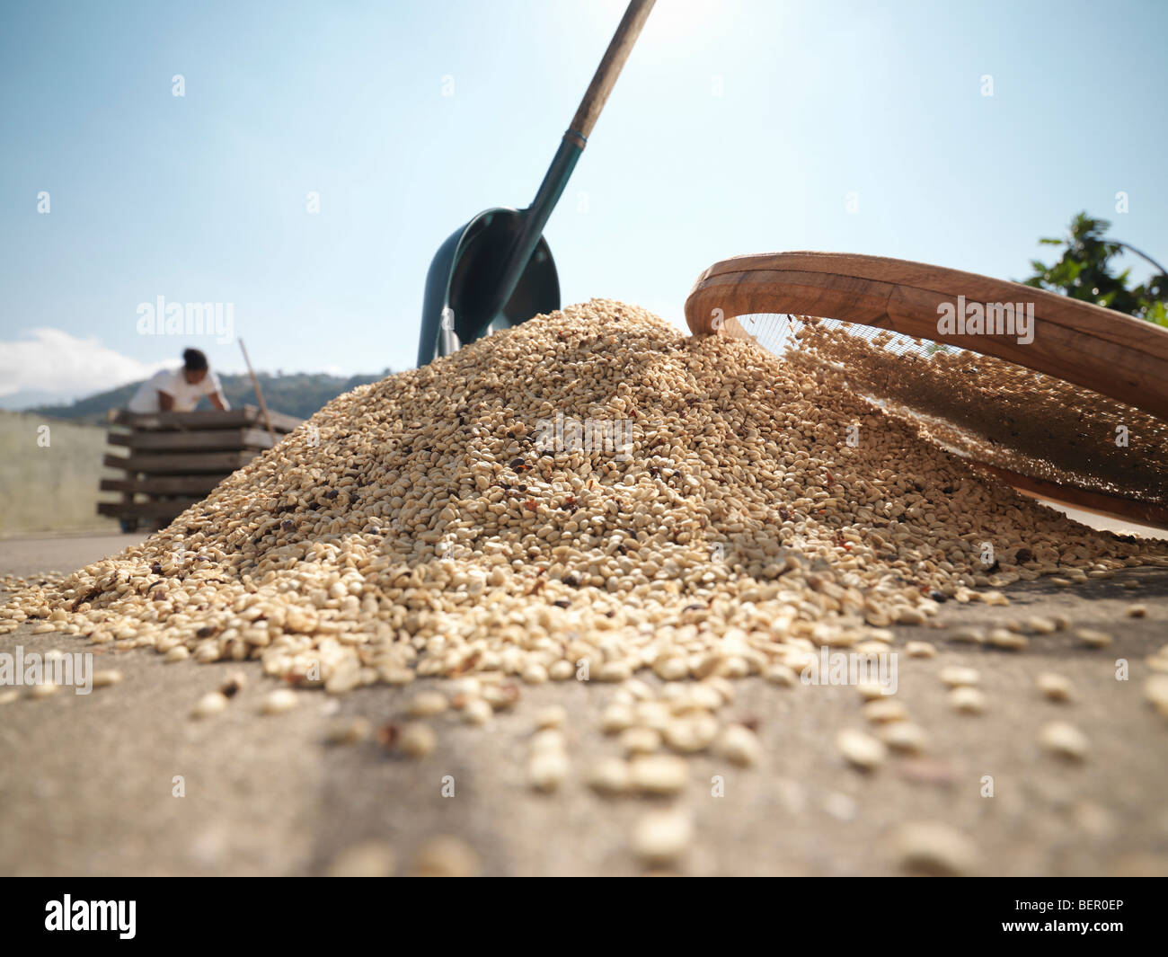 Pile Of Coffee Beans With Shovel - Stock Image