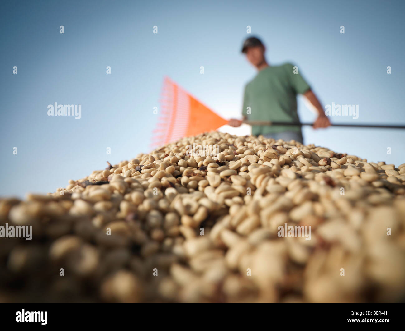 Worker Raking Pile Of Coffee Beans - Stock Image