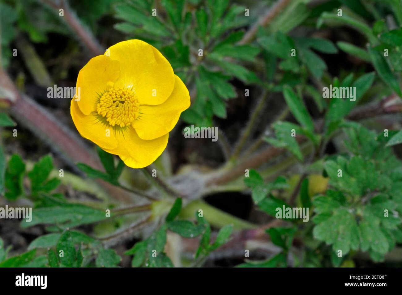 Bulbous buttercup / Saint Anthony's turnip (Ranunculus bulbosus) flowering in grassland - Stock Image