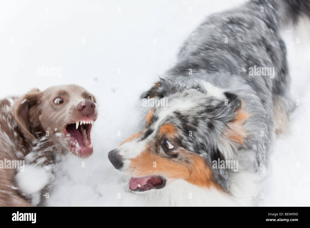 Two dogs fighting in the snow, high angle view - Stock Image