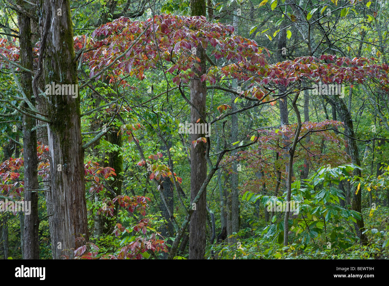 Dogwood Tree Autumn Stock Photos & Dogwood Tree Autumn Stock Images ...